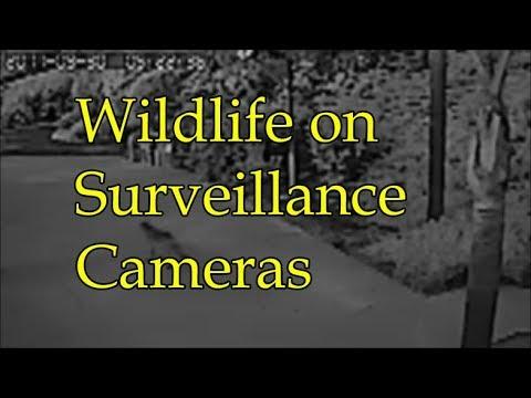Wildlife on Surveillance Cameras