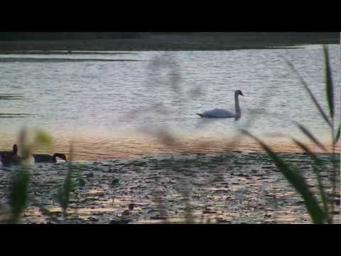 Vibrant Wingbeats ~ Mute Swans at Dawn