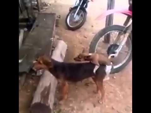 Chó chịch người :v