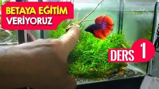 Beta Balığına Eğitim Veriyoruz - Ders - 1