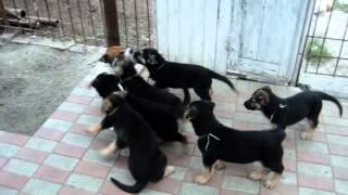 Вео щенки и Чак,барьеры общения