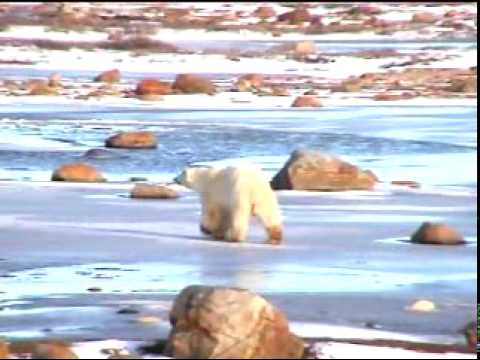 tourists, polar bears, churchill, manitoba.mpg