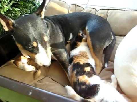 "Non-pregnant dog nursing ""matching"" kitten - YouTube"