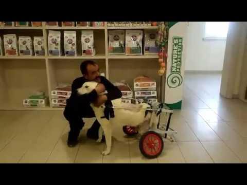 Yürüyemeyen köpeğe pazar arabasından yürüteç yapan Mehmet Köksal..