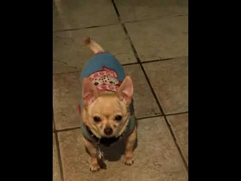 Chihuahua Film features: Agent Chi, where R U?