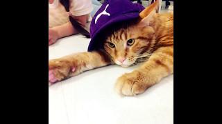 Смешной котик #Мейнкун  #Maincoon Прикол