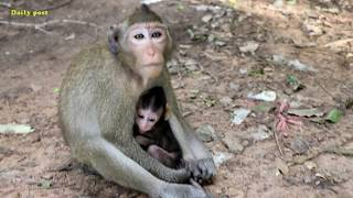Fantastic! cute baby Carli so awesome |Poor mom Candy raises her baby Carli very Well, forest monkey