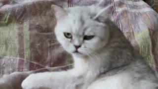 Шотландская кошка  - 65 день беременности