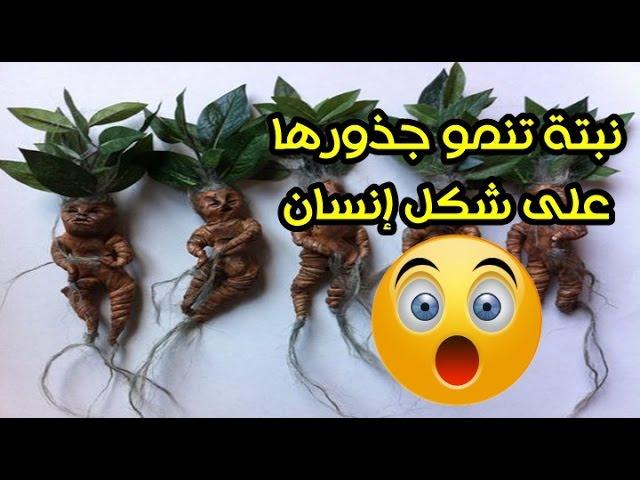 نبتة تنمو جذورها على شكل إنسان قادرة على الصراخ وكل من يسمعها يموت Youtube