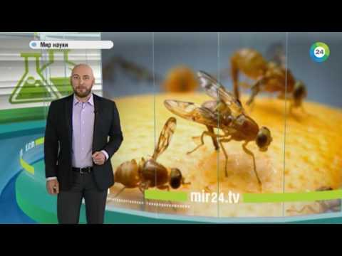 Мир науки: зачем нужна кастрация комаров