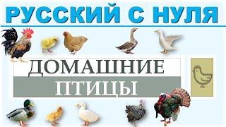 Домашние птицы. Русский язык с нуля.