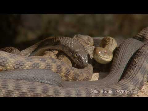 Уж водяной. Dice snake. Апшеронский национальный парк.