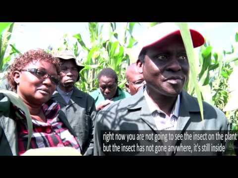 Agri-Biotec & Biosafety Seeing-is-Believing Study Tour to Kitale: GMO maize fields