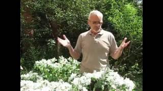 видео Гелениум: посадка и уход в открытом грунте, выращивание из семян и рассадой