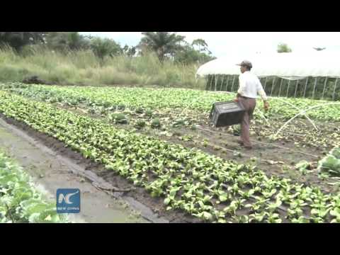 Chinese farmers toil in Africa