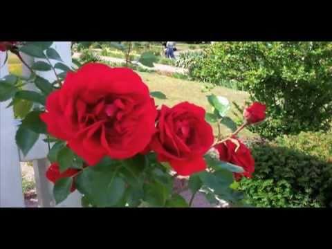 sympathie kletterrose kordes 1964 red roses youtube. Black Bedroom Furniture Sets. Home Design Ideas