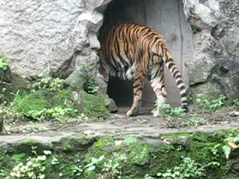 MAN EATeN BY A TIGER !!!! ITS REAL !!!