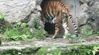 man eaten by a tiger its real