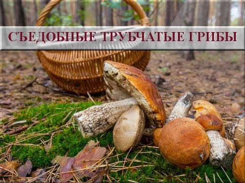 Съедобные трубчатые грибы. Съедобные грибы фото и названия ...