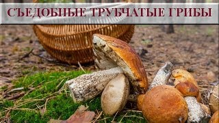 Съедобные трубчатые грибы. Съедобные грибы фото и названия