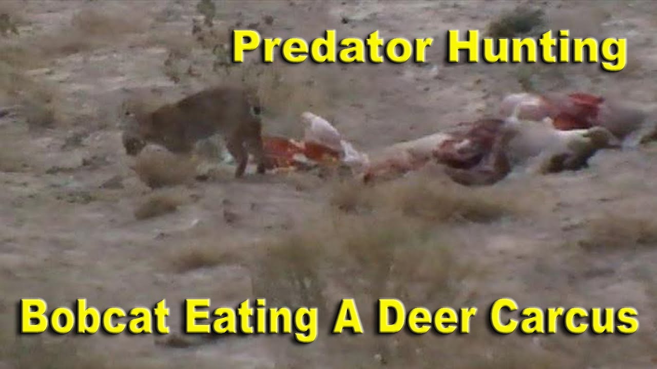 bobcat eating a deer carcass predator hunting youtube