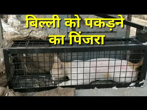 BILLI KO PAKARNAY KA DESI JUGAAR || HOW TO TRAP CAT by PIGEONS LOVERS
