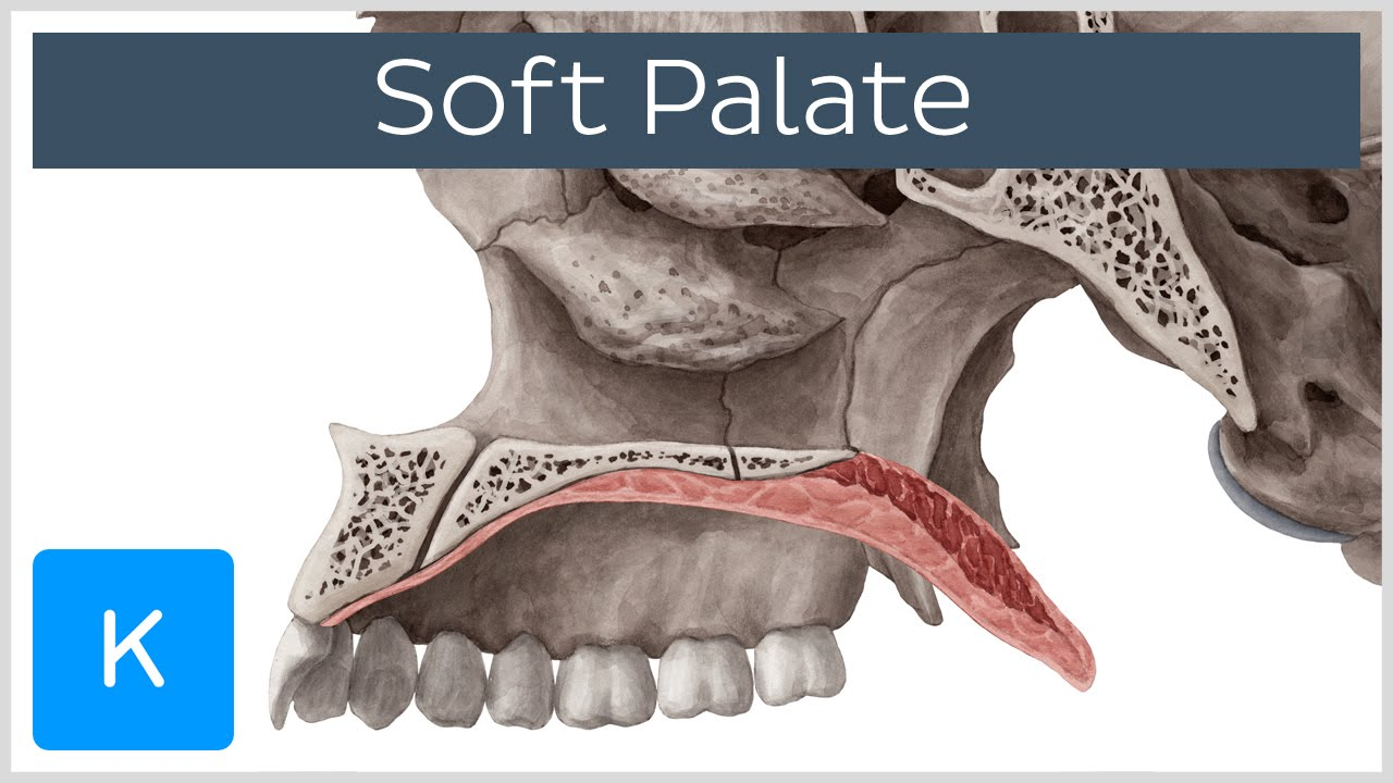 Soft palate: Muscles, Function & Definition - Human ...