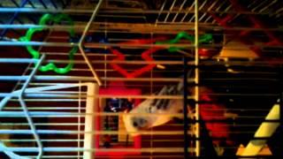 Budgie/Parakeet mating call