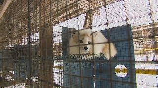 Каковы условия содержания животных на пушной ферме в Эстонии?