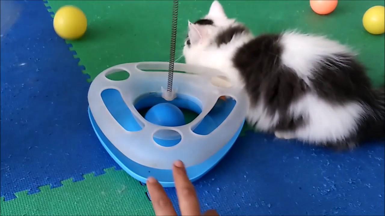 Bagaimana Membuat Kucing Cepat Gemuk Dan Berbulu Lebat Youtube