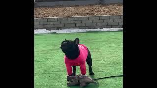 강아지 하울링 프렌치불독 맹순