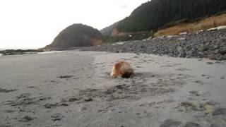 Pomeranian Oregon Beachcomber Tsuki