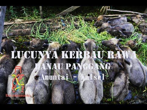 Kerbau Rawa Danau Panggang Kalimantan Selatan