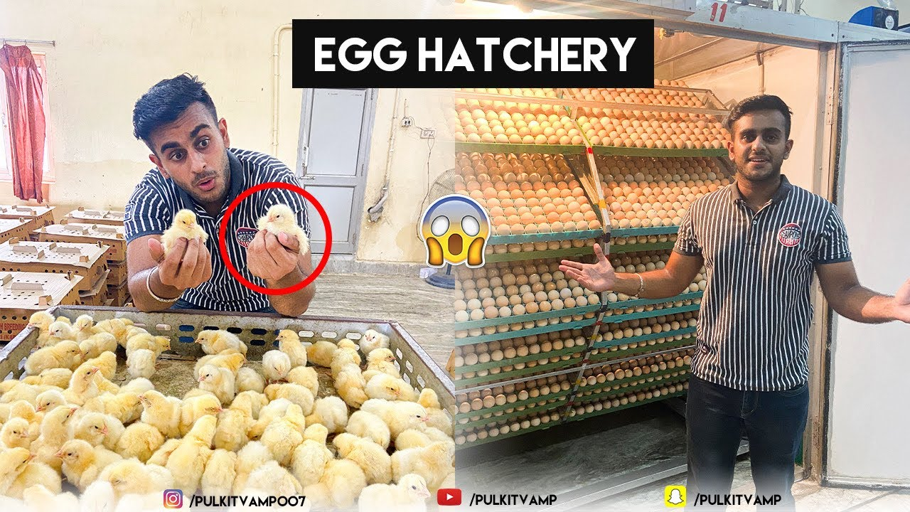 How eggs become chicks  | Poultry farming 🐣
