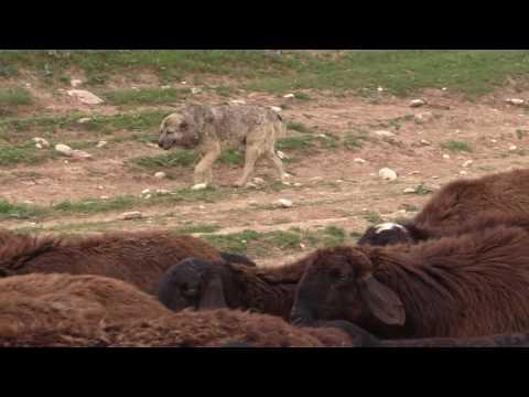 видео: Поведение таджикских саги дахмарда во время перегона.