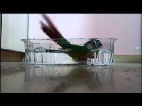 Green-cheeked Conure Parrot Taking a Bath