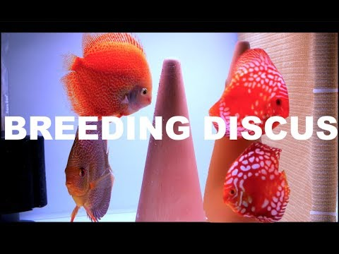 HOW TO BREED DISCUS SETUP! $$$ 4K