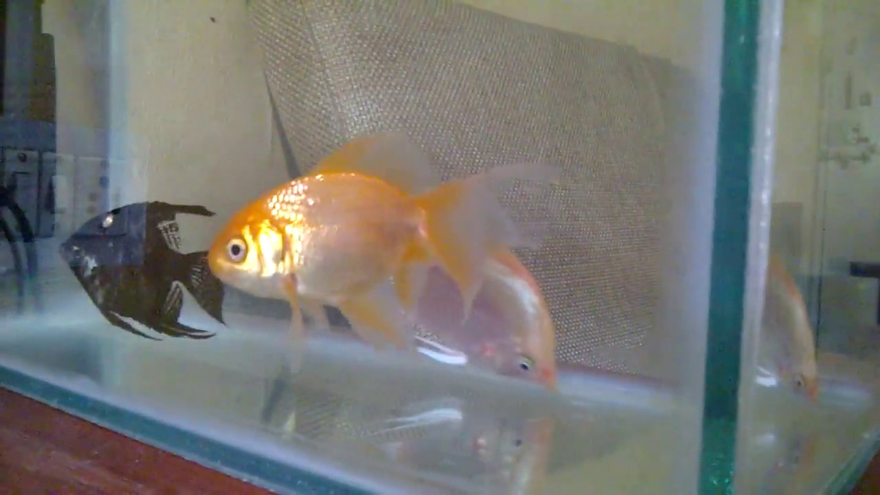 Freshwater fish behavior - Angel Fish Curious Behavior In A Freshly Cleaned Tank