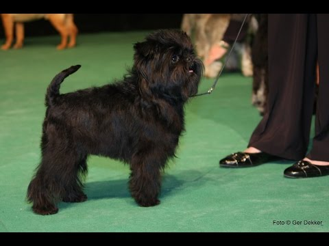 Affenpinscher / Dog Breed