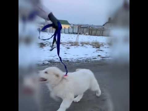 Первая прогулка щенка алабая ( нужно купить щенка )