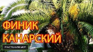 Пальма комнатная / Финик канарский / Финиковая пальма(Финиковая пальма, также Феникс, Финик (лат. Phoenix) — род растений семейства Пальмовые (Arecaceae). Род включает..., 2015-02-08T11:47:46.000Z)