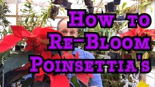 POINSETTIA CARE PT 2: HOW TO RE-BLOOM POINSETTIA'S FOR NEXT WINTER & 4 SEASONS OF CARE TIPS