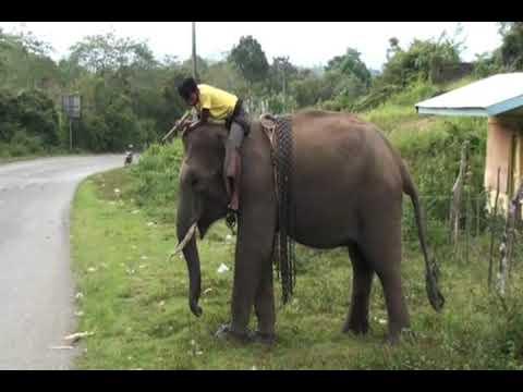 Aceh Elephant