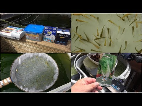 My Koi Breeding Project - Part 9 - Fry update, feeding, mortalities, test kits and lettuce