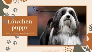 Löwchen puppy