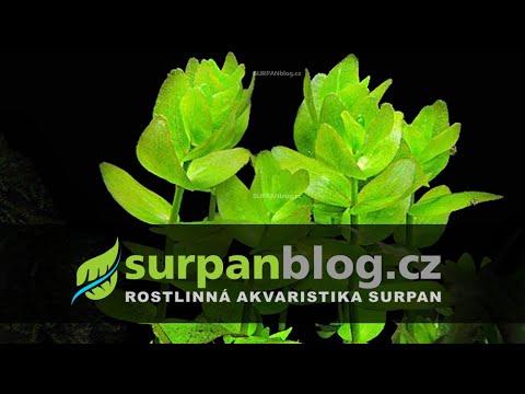 Bacopa caroliniana - bakopa karolínská - aquarium plant (fullHD)