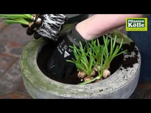 Traubenhyazinthen Einpflanzen In Ein Gefass Pflanzen Kolle Youtube