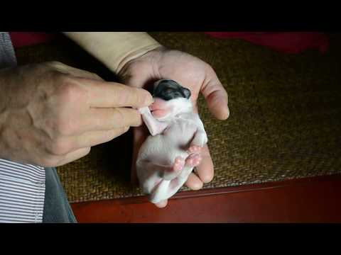 Hairless Tri Colored Chinese Crested Puppy For Sale LuluBelle 1 Week 10 9 17
