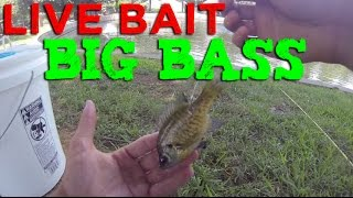 How to Fish With Live Bluegill- GoPro