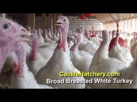 Broad Breasted White Turkey Breed (Breeding Flock) | Cackle Hatchery